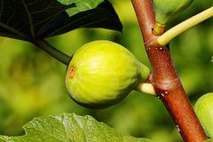 Figo - Fig