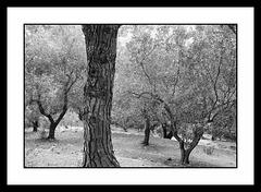 Du pin et des olives