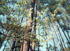 Dogwood beneath Pines