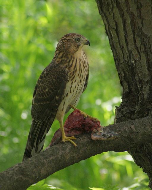 Épervier de Cooper/Cooper's hawk