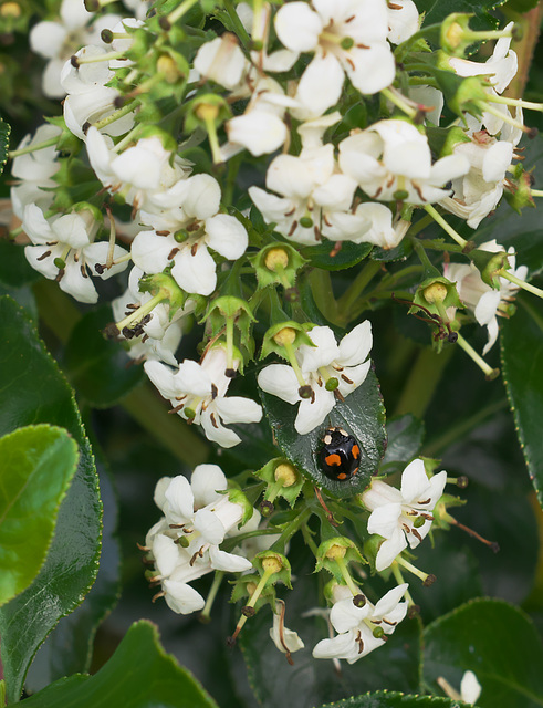Four spot ladybird on a pyracantha