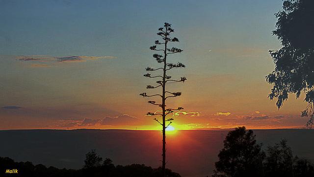 Fleur d'agave au Couchant