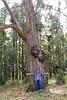 Eukalyptusbaum mit 1,60m Durchmesser. ©UdoSm