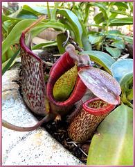 Fleischfressende Kannenpflanze (Nepenthes maxima) ©UdoSm