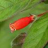 Kohleria tubiflora, Trinidad