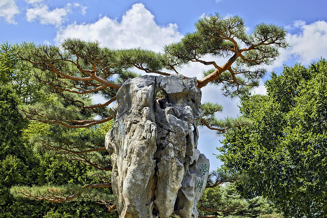 Scotch Pine on the Rocks – Botanical Garden, Montréal, Québec