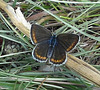 ¨Papillon brun / Brown butterfuly