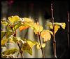 Il reste encore quelques feuilles…..