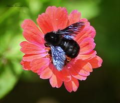 Black bumblebee.