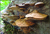 forest  pancake