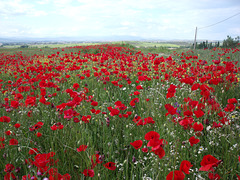 Algete: Poppy field. For Pam.