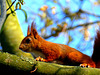 Gewone rode eekhoorn