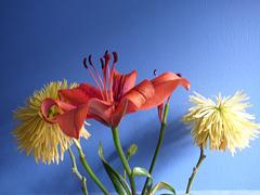 Lilium rojo