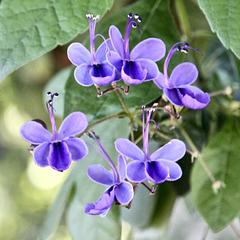 Uganda-Losstrauch-Blüten