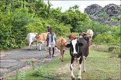 Entre la vache et le zébu