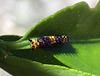 Papilio anactus Day 6