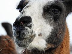 Up close with a Llama