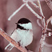 Black -Caped Chickadee