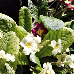 The annual primroses and polyanthus, come out without fail.