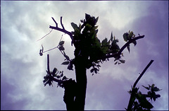 Japanese chestnut tree(Castanea crenata)