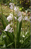 Jacinthe des bois var. blanche.