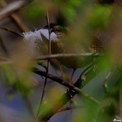Troglodyte et la plume pour renforcer son nid