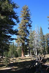 Very large ponderosa pine