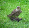 Sparrowhawk With Starling