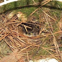 Baby wrens - 27 June 2020