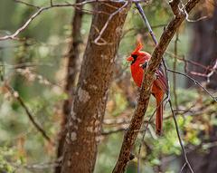 4107515dL · Cardinal