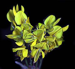 jaune / noir