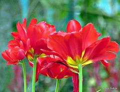 Red Beauties.
