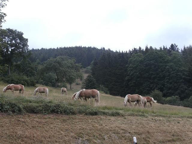 Eine Herde Junghengste