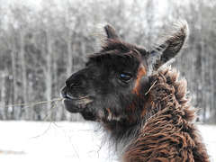 Overload of Llamas : )