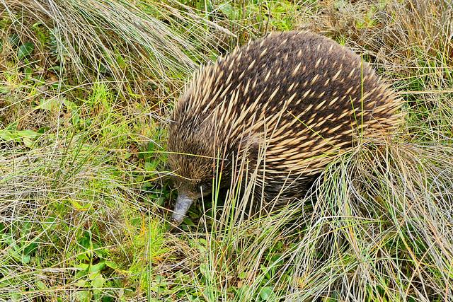 P1260565- Echidné d'Australie (ovipare), Loch Ard Gorge - Port Campbell national park.  29 février 2020