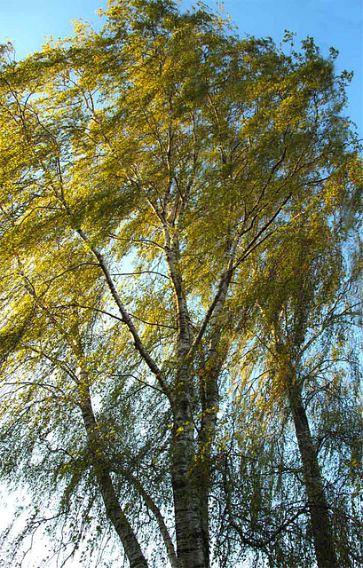 Birch tree dancing