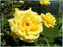 Sonnenrose zum Sommeranfang... ©UdoSm