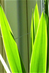 The sun shining through the yucca leaves