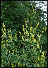 Trigonella officinalis - Mélilot officinal