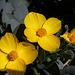 Channel Island Bush Poppy (3640)