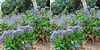 LA County Arboretum stereoscopy 10
