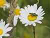 Flower Beetle on Daisy