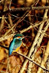 Martin, le Kingfisher