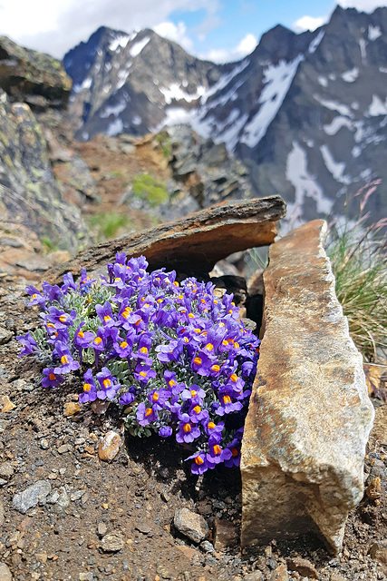 Blossoming at 3,000 m