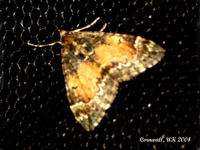 1764 Chloroclysta truncata (Common Marbled Carpet)