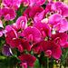 Pink Vicia