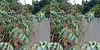 LA County Arboretum stereoscopy 8