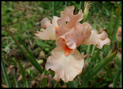 Buisson de Roses (5)