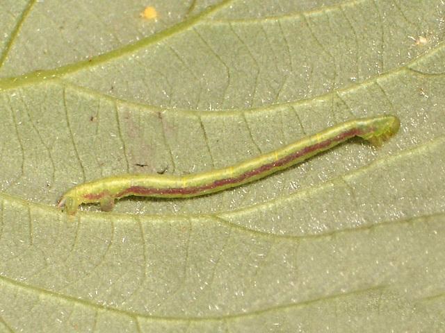 1764 Chloroclysta truncata (Common Marbled Carpet)