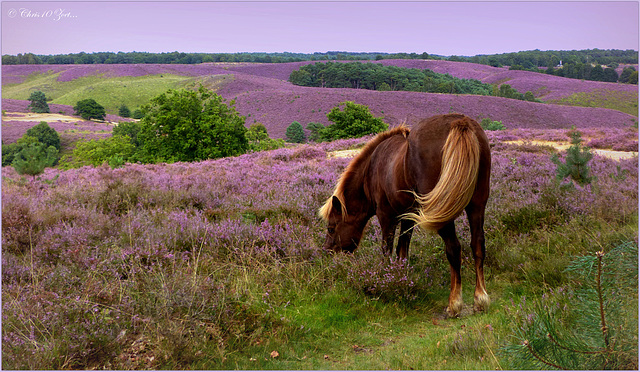 It was me a pleasure to see this wild Horse on the Posbank, in the middle of the Netherlands...